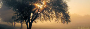 Smaller image of the Glorious Oak Tree picture of the sun showing an aura through the tree in the fog.